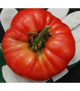 semillas de tomate bear claw