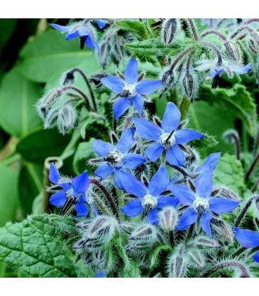 Borraja Officinalis (Semillas Ecológicas)