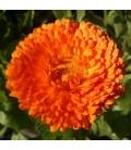 Caléndula Officinalis (Semillas Ecológicas)