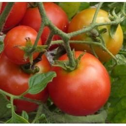 Tomate sub artic plenty