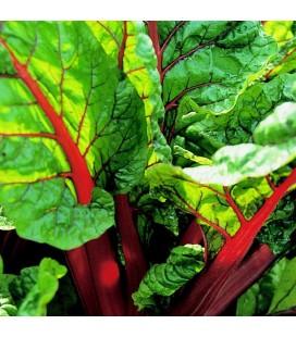 acelga roja rhubarb - semillas ecológicas