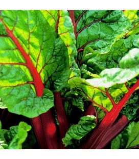 acelga roja rhubarb