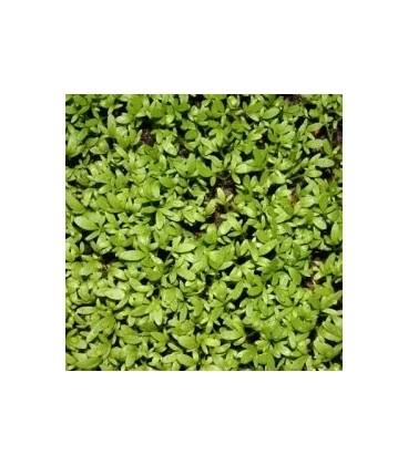 berro cresso - semillas ecológicas