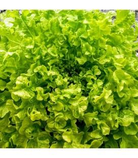 lechuga green salad bolw - semillas ecológicas