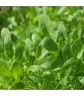 rucula cultivada (semillas ecológicas Naturnoa)