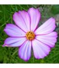 cosmos Daydream (semillas ecológicas)