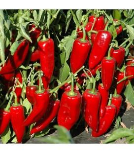 pimiento rojo marconi (semillas ecológicas Naturnoa)