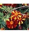 Tagetes Patula Molinillo maravilla (semillas sin tratar)