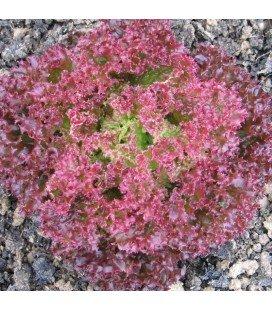 lechuga lollo rossa semillas ecológicas Naturnoa