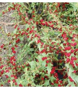 espinaca fresa (capitatum Chenopodium)