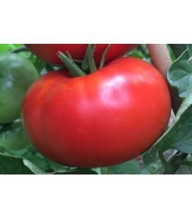 tomate gigante delicious- plantel