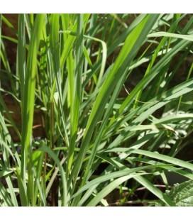 citronela (Cymbopogon flexuosus)