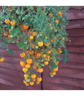 tomate tumbling Tom yellow (semillas no tratadas)