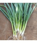 cebolla welsh White (Allium fistulosum) sin tratar