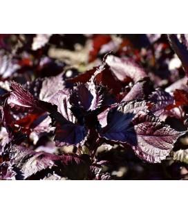 semillas de perilla roja - shiso