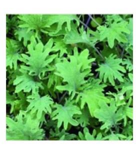 kale red russian semillas sin tratamiento