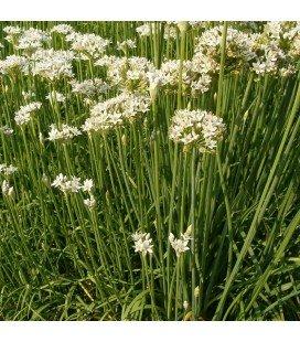 Cebollino chino, ajo cebollino (Allium tuberosum) - semillas no tratadas