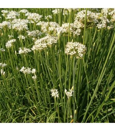 Cebollino chino, ajo cebollino (Allium tuberosum)