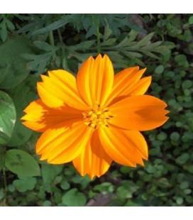 Cosmos Sulphureus - semillas sin tratamiento