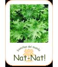 wasabino (Brassica juncea)