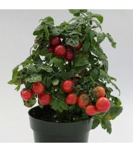Tomate Sweet & Neat Cherrie Kisses