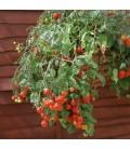 tomate tumbling Tom red (semillas no tratadas)