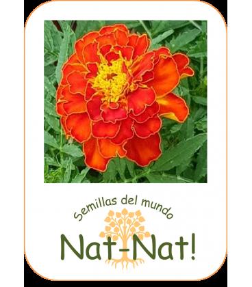 tagete doble enano bolero (Tagetes patula nana)