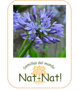 Agapanto azul (agapanthus Umbellatus blue)