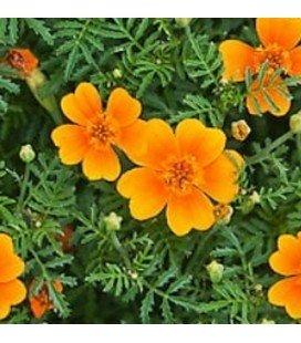 Tagete Tangerine Gem (Tagete tenuifolia) - sin tratamiento
