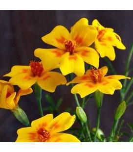 Tagete golden Gem (Tagete tenuifolia) - sin tratamiento