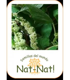 amaranto cascada verde (Amaranthus caudatus)