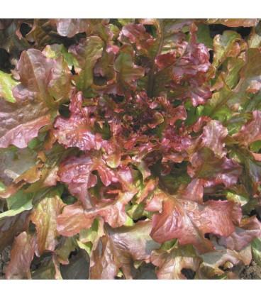 lechuga red salad bolw - semillas ecológicas