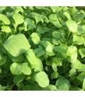 lechuga de los mineros (Claytonia perfoliata) - semillas no tratadas