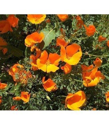 Amapola de California Mission bells (Eschscholzia californica)