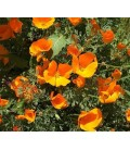 Amapola de California Mission bells (Eschscholzia californica)