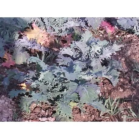 semillas de kale rojo ruso