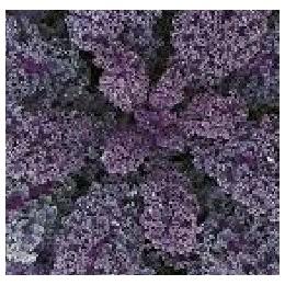 kale morado (semillas no tratadas)