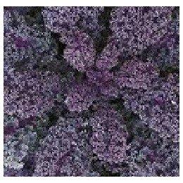 kale morado (semillas ecológicas)