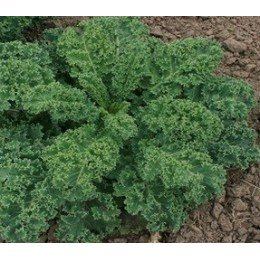 Kale Dwarf green curled - semillas