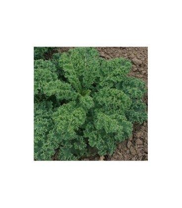semillas de Kale Dwarf green curled