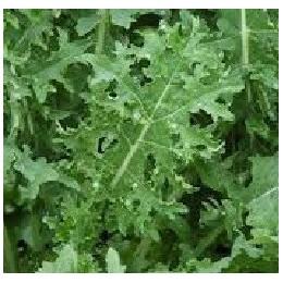 semillas de Kale blanco ruso