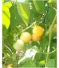 Tomate Mirabelle blanche - semillas no tratadas