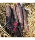zanahoria F1 purple sun - sin tratamiento