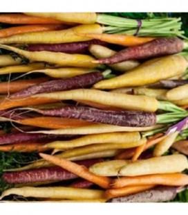Zanahoria rainbow F1 - semillas no tratadas