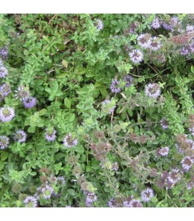 menta poleo (Mentha pulegium) - semillas no tratadas