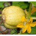 pepino limón - planta