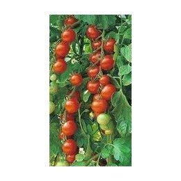 plantel de tomate cherry cereza