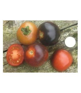tomate Indigo Rose - plantel