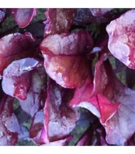 Acelga roja Blood Red - semillas no tratadas