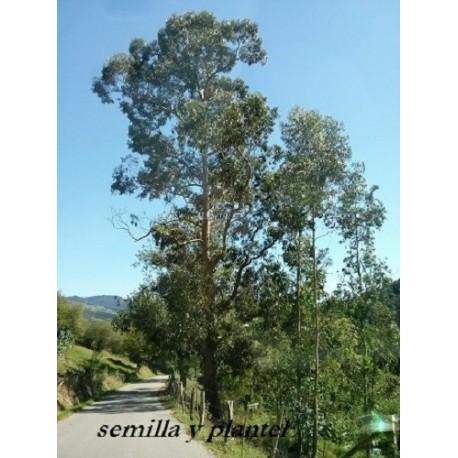 planta de eucalipto globulus